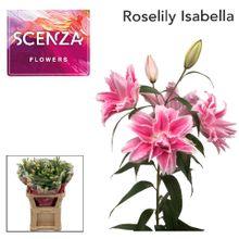 LI ROSELILY ISABELLA 4+ Scenza.