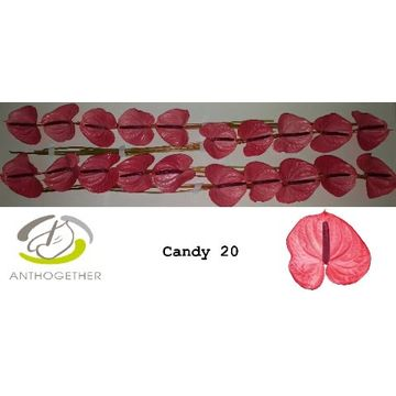 ANTH A CANDY 20.