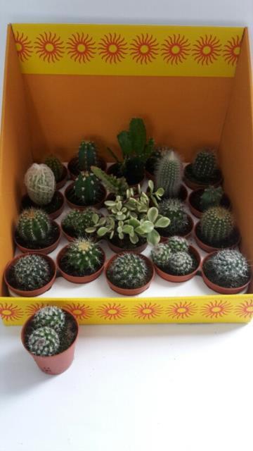Cactus Gem 18 Srt