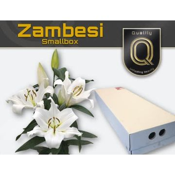 LI OT ZAMBESI MAGNUM SMALLBOX 5+.