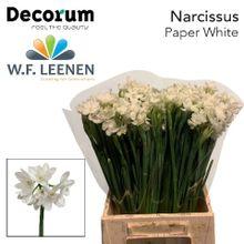 Narcissus Paperwhite 566 2 x 50.