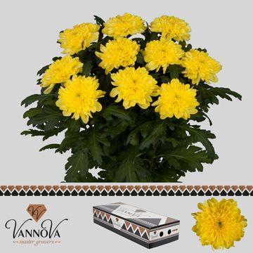 Chr G Zembla Yellow - 80 gr.