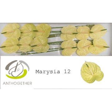 ANTH A MARYSIA 12.