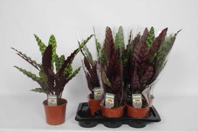 Calat Lancifolia