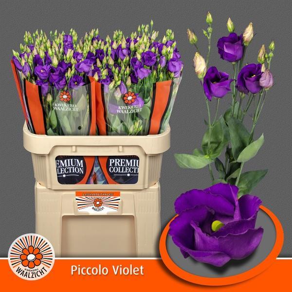 Eus E Picco Violet
