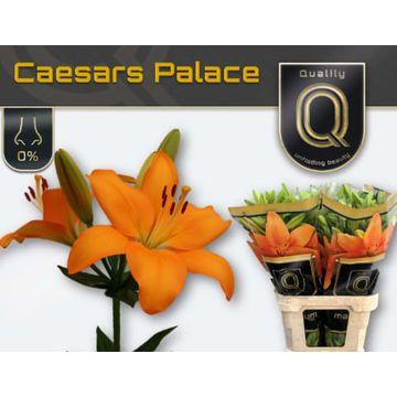 LI LA CAESARS PALACE 5+ .