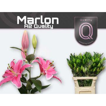 LI OR MARLON A2 3+ A2 emmer.