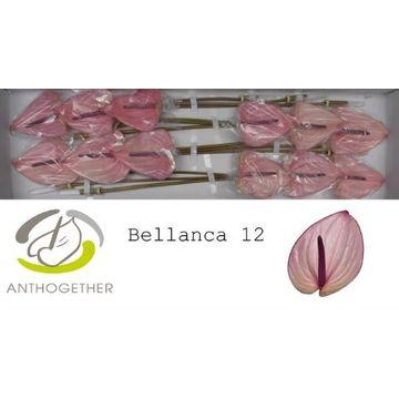 ANTH A BELLANCA 12.