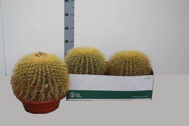 Echinoc Grusonii
