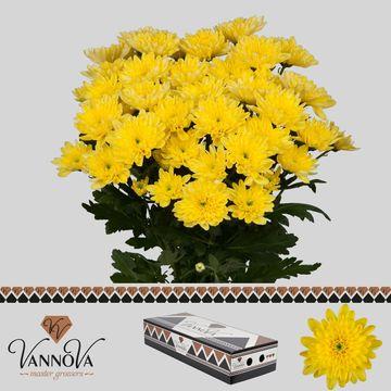 Chr T Baltica Yellow - 95 gr.