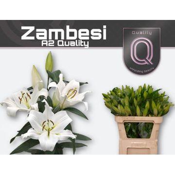 LI OT ZAMBESI A2 emmer 3+ .