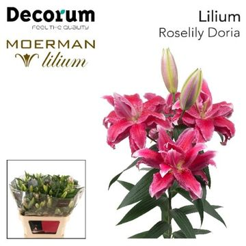 LI ROSELILY DORIA 4+.