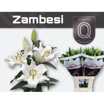 LI OT ZAMBESI 4+.