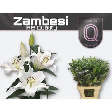 LI OT ZAMBESI A2 emmer 4+ X30.