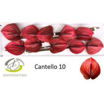 ANTH A CANTELLO 10.