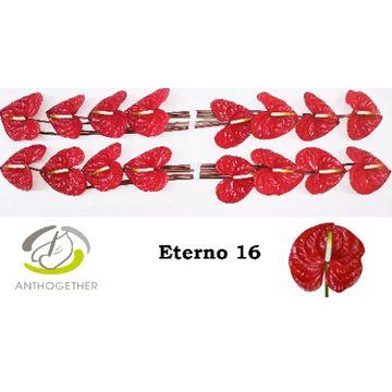 ANTH A ETERNO 16.