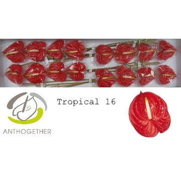 ANTH A TROPICAL 16.