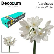 Narcissus Paperwhite Box Leenen 2 x 50.