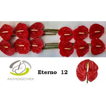 ANTH A ETERNO 12.