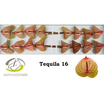 ANTH A TEQUILA 16.