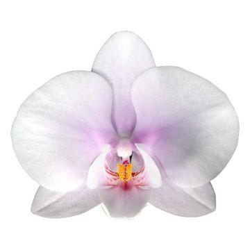 PHAL OKAYAMA PER BLOEM 45 bloemen, 4 takken.