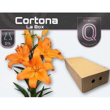 LI LA CORTONA LA BOX 4+.