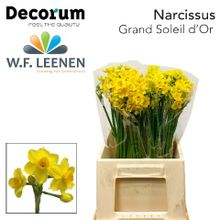 Narcissus Grand Soleil d'Or 566 2 x 50.