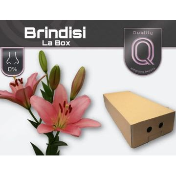 LI LA BRINDISI LA BOX 4+.