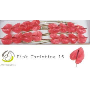 ANTH A PINK CHRISTINA 16.